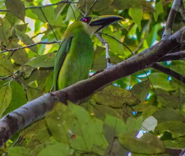 Back at camp, we were greeted by Emerald Toucanets. I am totally amazed at just how much we recorded at night. During the day I found a Crested Eagle which was a lifetime achievement. But at night... Armadillo, Crested Owl, Kinkajou, Margay, Tapir, Gibnut, and and my second Cacomistle!