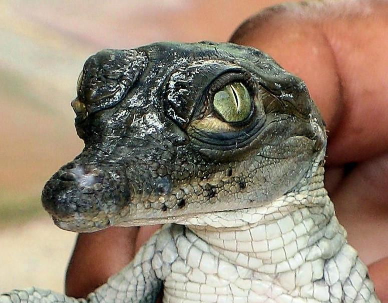 face of a baby crocodile
