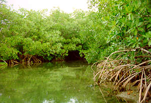 benefits of mangrove forests